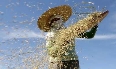 "alt=""Climate change 'will make rice less nutritious'"""