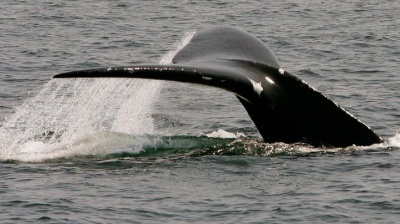 "alt=""With billions at stake, Canada to show U.S. its fisheries protect whales"""
